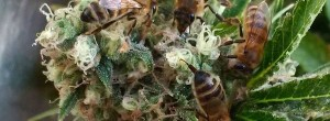 Εκπαιδεύει τις μέλισσες για να φτιάχνουν μέλι από κάνναβη (Βίντεο)